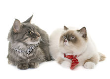 English longhair et maine coon cats Stock Photo