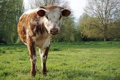 English Longhorn Bull Calf Royalty Free Stock Photography