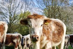 English Longhorn Bullock With Name Tag Stock Photography