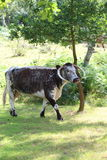 English Longhorn Cattle. An English Longhorn cow wandering across a field with trees Royalty Free Stock Photo