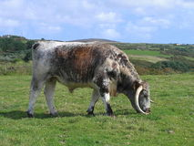 English longhorn cattle Stock Image