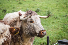English longhorn cattle Stock Photo