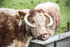English longhorn cattle Stock Photos