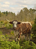 English longhorn cow Stock Photography