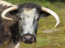 English longhorn cow Royalty Free Stock Photography