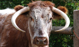 English Longhorn Cow Stock Photos