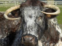English longhorn cow Royalty Free Stock Images