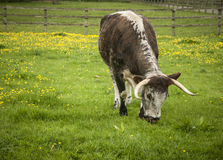 English Longhorn Stock Photography