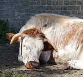 English Longhorn cow, lying down, brick wall. White and ginger English Longhorn cow lying down, apparently sleeping, on bare ground next to brick wall Stock Photography