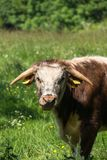 English Longhorn eating in Pishiobury Park, sawbridgeworth royalty free stock images