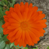 English Marigold - flower Royalty Free Stock Images