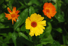 English Marigolds with Raindrops Royalty Free Stock Images