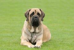 English Mastiff. Dog portrait in garden royalty free stock photo