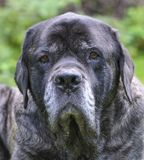 English Mastiff Royalty Free Stock Photos