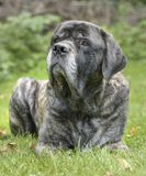 English Mastiff Royalty Free Stock Photo