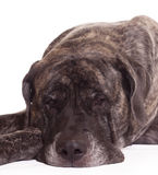 English Mastiff dog Royalty Free Stock Photos