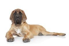 English mastiff dog (5 month)  Stock Photography