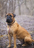 English Mastiff dog breed