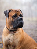 English Mastiff dog Stock Photography
