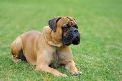 English Mastiff dog royalty free stock image