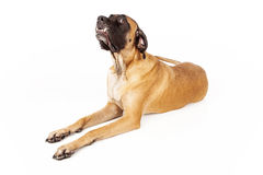 English Mastiff Dog Funny Face Stock Image