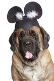 English Mastiff dog in a funny hat stock photography