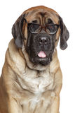 English Mastiff dog in glasses royalty free stock images