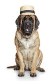 English Mastiff dog in hat