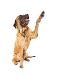 English Mastiff Dog High Five Royalty Free Stock Photo