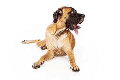 English Mastiff Dog Looking to Side Royalty Free Stock Photo