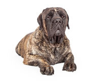 English Mastiff Dog Serious Expression