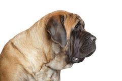 English mastiff dog. Side view royalty free stock images