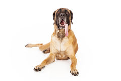 English Mastiff Dog With Tongue Out Stock Image