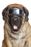 English Mastiff dog in Vintage Motorcycle Goggles. Portrait on a white background Royalty Free Stock Image