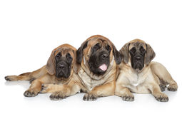 English Mastiff dogs on white background