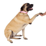 English Mastiff Paw Shake Royalty Free Stock Photo