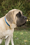 English Mastiff Portrait Stock Photo
