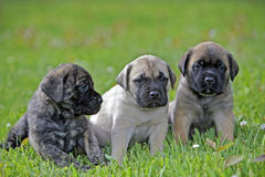 English Mastiff puppies Stock Photography