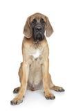 English mastiff puppy Stock Photos