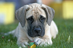 English Mastiff puppy with ball Stock Photography
