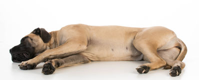 English mastiff Stock Image