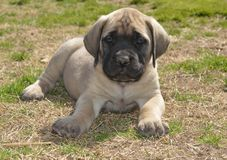English Mastiff puppy outside on grass Stock Photos
