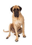 English Mastiff Sitting Serious Expression