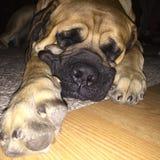 English Mastiff Royalty Free Stock Photo