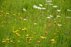 Fresh and vibrant, green summer meadow royalty free stock photography
