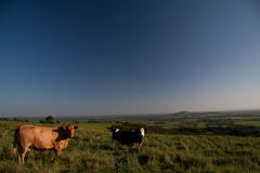 English Meadows. Cows in a beautiful English meadow Royalty Free Stock Image