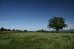 English Meadows. A tree in a beautiful English meadow Royalty Free Stock Photography