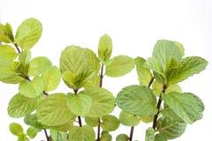 English mint plants Stock Photos