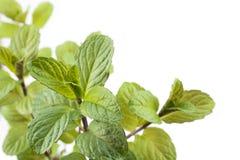 English mint plants Royalty Free Stock Photos