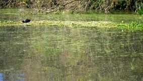 English Moorhen feeding on calm pond. A calm rural English scene with a moorhen feeding on floating water weeds before flying out of the frame stock footage